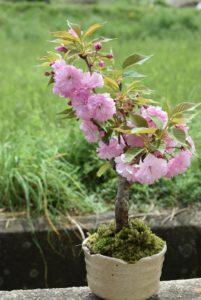 八重桜,苗木,植え方
