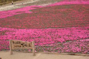 茶臼山高原,2020,芝桜,見頃