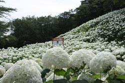 東京サマーランド,あじさい園,2020